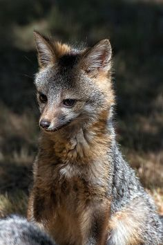 """Absolutely Adorable """"Foxy"""" by Kathleen Bishop Woodland Creatures, Woodland Animals, Animals And Pets, Cute Animals, Different Types Of Animals, Grey Fox, Owning A Cat, Underwater Creatures, Cute Fox"""