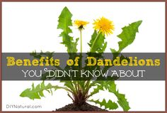 16 Benefits You Didn't Know About Using Dandelions ~via http://www.diynatural.com/dandelion-benefits-greens-roots-tea/