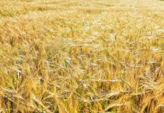 Barley grain field stock photo