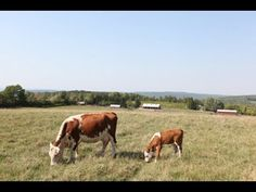 Reel Life at Farm Sanctuary - Ep. 8 - The Mother and Calf Bond