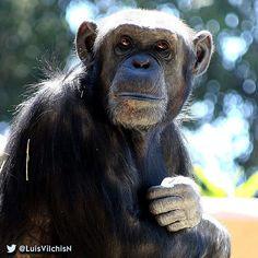 Un #chimpancé con estilo. #Naturaleza #Nature #Apes #Simios #SinFiltro #photooftheday #chimp #zoo