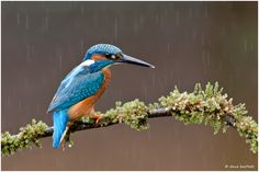 Kingfisher in the rain by Dave Bartlett, via 500px