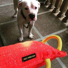 Gryzak dla psa z materiału francuskiego ForDogTrainers Pitbulls, Dogs, Animals, Animales, Pit Bulls, Animaux, Pet Dogs, Pitbull, Doggies