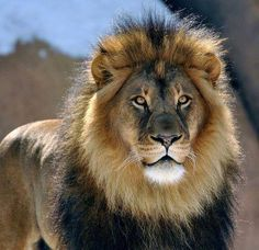Lion looking majestic Lion Images, Lion Pictures, African Cats, African Animals, Most Beautiful Animals, Majestic Animals, Tiger Artwork, Lion Photography, Lion Love