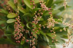 A closer look at Stelis thermophila, as pictured on the Writhlington Orchid…