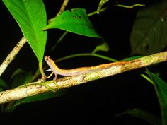 Bolitoglossa paraensis - Pesquisa Google