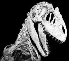 Allosaurus Specimens | Allosaurus . Photo courtesy of Don Lofgren, Raymond M. Alf Museum.