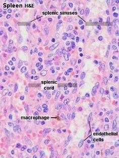 Histology - Spleen Red Pulp