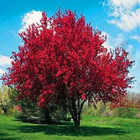 Profusion Crabapple Tree, Fast Growing Tree for landscaping