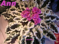 AFRICAN VIOLET LEAVES ANN~STUNNING PINK BLOSSOMS OVER AMAZING VARIEGATION
