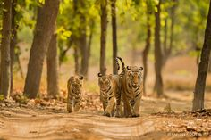 Photograph Tiger Family by Sandeep Dutta on Big Cats, Cool Cats, Beautiful Cats, Animals Beautiful, Lynx, Big Cat Diary, Jaguar, Animals And Pets, Cute Animals