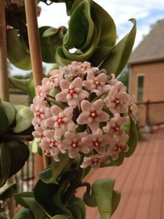 Curly Rope Hoya bloom. From my plant fall 2012.