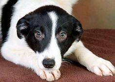 Adler-a-Border-Collie-mix-puppy-in-Pennsylvania