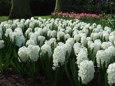 Hyacinten Keukenhof