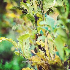 Quercus x warei 'Wind Candle' #gardening #tuinieren #jardinage #gartenarbeit #quercus #bloemen #tree #boom #arbre #baum #hortusconclusus #treenursery #boomkwekerij #pépinière #baumschule #uitbergen #berlare #zele #wichelen #schellebelle #lokeren #schoonaarde #dendermonde #laarne #beervelde #kalken #wetteren