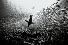 David Doubilet, Galapagos sea lion feed on striped salemas (1997), Cousin's Rock, Galapagos, Equador