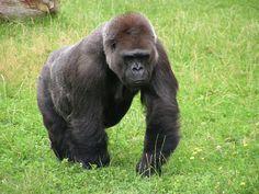 gorila dvůr králové