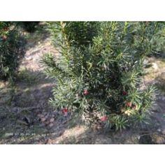 Taxus media 'Hicksii' - Fruchtende Eibe 'Hicksii' jetzt günstig in Ihrem MEIN SCHÖNER GARTEN - Gartencenter schnell und bequem online bestellen.