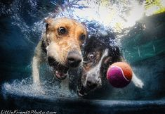 Amazing photo collection of dogs chasing balls underwater. By Seth Casteel.