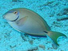 Ocean Surgeonfish (Acanthurus bahianus) - Caribbean