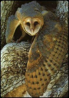 barn owl… - http://www.facebook.com/pages/Pour-la-protection-des-animaux-et-de-la-nature/120423378016370