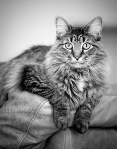 long haired cat pet imagery kaplan black and white BW Cat Tshirt