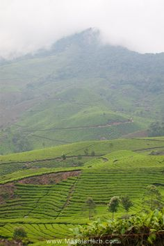 Traveling South India www.masalaherb.com ever green tea plantation Munnar, Kerala India
