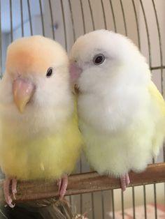 Love Birds Pet, I Like Birds, Cute Birds, Pretty Birds, Beautiful Birds, Animals Beautiful, Bird Pictures, Cute Animal Pictures, Cute Baby Animals