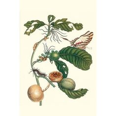 Buyenlarge 'Coffee Tree Leaf with A Glaucolaus Kite Swallowtail Butterfly' by Maria Sibylla Merian Graphic Art Size:
