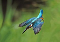 Martin Pescatore - Kingfisher
