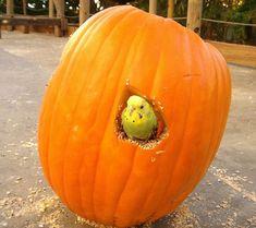 Parakeet Pumpkin by audubonimages via Flickr