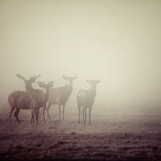 Deer in Fog, Nature Photography, Autumn, Minimal, Father's Day, Simple, Animals, For Him, Purple Decor, Plum - Cautionary Tales