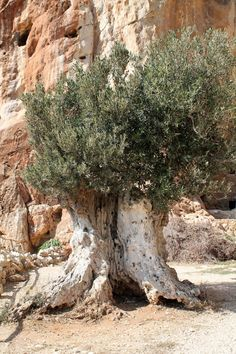 Old old olive tree in Sicily