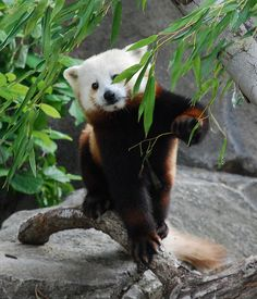 From the first moment I set eyes on a red panda, I was in love. Fluffy Animals, Cute Animals, Panda Funny, Red Pandas, In The Tree, Funny Cartoons, Otters, Funny Babies, Panda Bear
