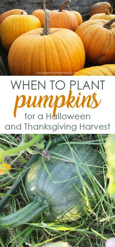 Growing Pumpkins from Seeds: Tips, Tricks, and The Best Variety to Try! Dreaming of homegrown pumpkins for Halloween and Thanksgiving? Find out when to plant pumpkins for the perfect fall harvest! When To Plant Pumpkins, Planting Pumpkins, Grow Pumpkins, When To Harvest Pumpkins, Pumpkin Garden, Autumn Garden, Pumpkin Plants, Harvest Garden, Pumpkin Farm