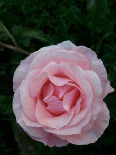 #rose #pink #romanianrose #bloom