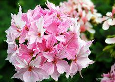 """Stellar Pelargonium """"Pat Hannam"""""""