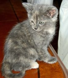 [another picture of Kookaburra, a Domestic Short Hair dilute tortoiseshell\ cat]