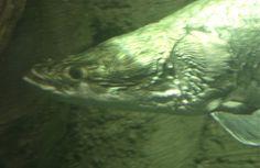 Seeker; Adventure Aquarium; Camden, New Jersey, USA.  March 2008.