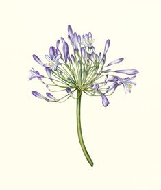 Agapanthus-Painting - Botanical Art by Botanical Artist Fiona Wheeler - member of The Society of Floral Painters and Guildford Art Society - Private commissions invited