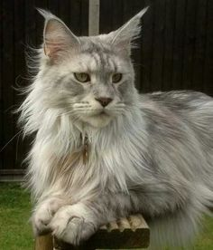 http://www.mainecoonguide.com/