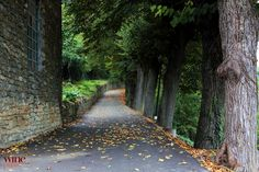 Tree-lined road in Loazzolo, Asti & Moscato wine zone of Piemonte, Italy