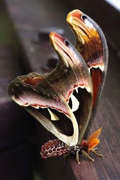 Atlas Moth (world's largest moth -- wingspan up to Tips of wings resemble head of cobra. Papillon Butterfly, Butterfly Kisses, Beautiful Bugs, Beautiful Butterflies, Beautiful Creatures, Animals Beautiful, Atlas Moth, Cool Bugs, Moth Caterpillar