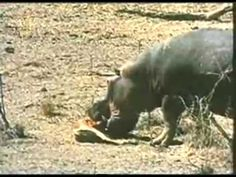 Hippo saves impala from croc, and buffalo rescues calf.