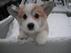 Corgi in the snow.