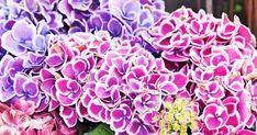 Hoida jalohortensiaa huolella, niin saat nauttia sen upeasta kukkinnasta koko kesän. Lue hortensian hoito-ohjeet Viherpihasta.