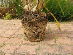 Organic Gardening Tips Key: 9807111589 Phalaenopsis Orchid, Orchid Plants, All Plants, New Roots, Liquid Fertilizer, Organic Gardening Tips, Orchid Care, Potting Soil, Houseplants