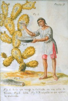 José Antonio de Alzate y Ramírez, Indian Collecting Cochineal [insects] with a Deer Tail. Cochineal was used as a red dye in fabric. On display at the Museum of International Folk Art in May of Deer Tail, Newberry Library, Houston Museum, Mexican Textiles, Wellcome Collection, Mexican Folk Art, Science And Nature, Botanical Illustration, Art History
