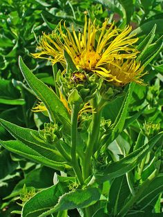 inula helenium - Yahoo Search Results Yahoo Image Search Results