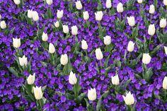 Viola and Tulip